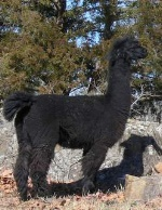 female alpaca, Bertie