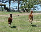 Lucky and cria